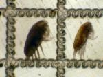 Paracalanus parvus and P. indicus