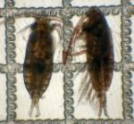 Mesocalanus tenuicornis