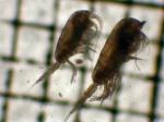 Metridia pseudopacifica and M. pacifica