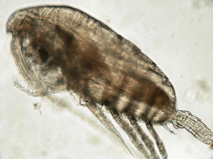 Paracalanus indicus