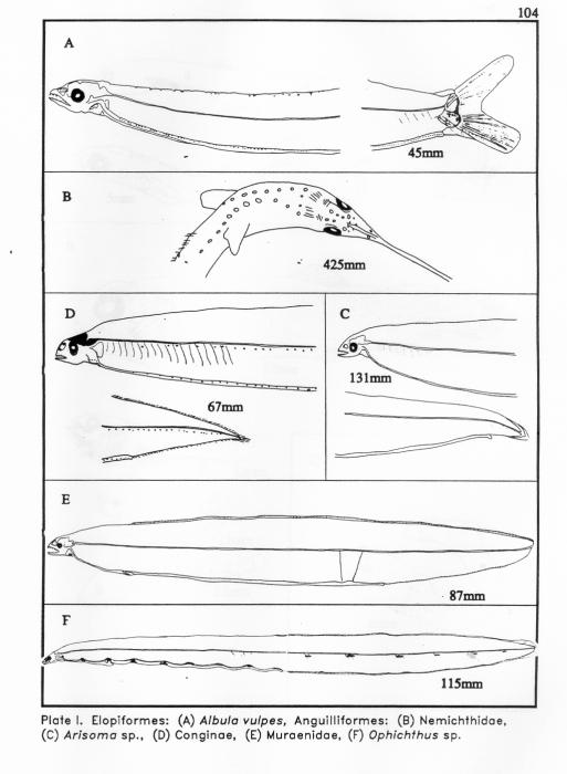Elopiformes and Anguilliformes