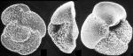 Globorotalia crassula