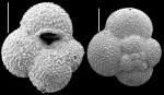 Globigerina falconensis