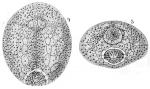 Palaeotropus hirondellei
