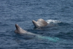 Northern bottlenose whales spyhopping