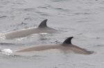 Northern bottlenose whales - dorsal fins