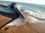 Blue whale stranding