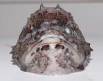 Cottunculus microps - head