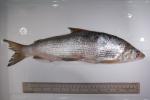 Coregonus clupeaformis - lake whitefish