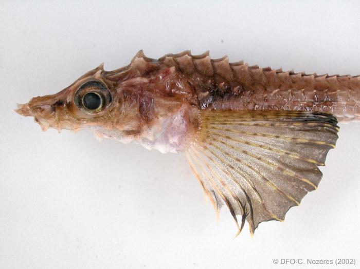 Leptagonus decagonus - poacher (close-up)