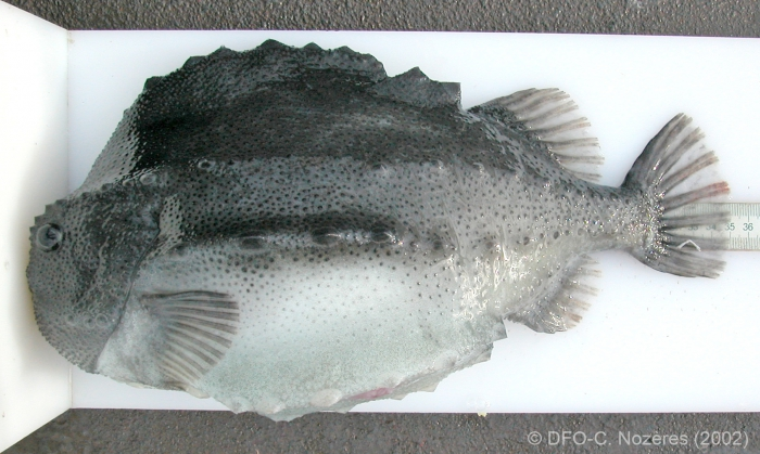 Cyclopterus lumpus - lumpfish (large)