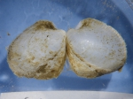 Lyonsiella (exterior of valves)