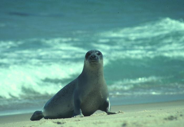 Harbour seal - female