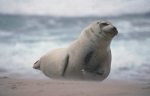 Harbour seal - male