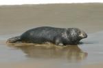Grey seal  - male