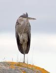 Ardea herodius - Great Blue Heron