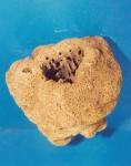 Siphonella ingens Holotype