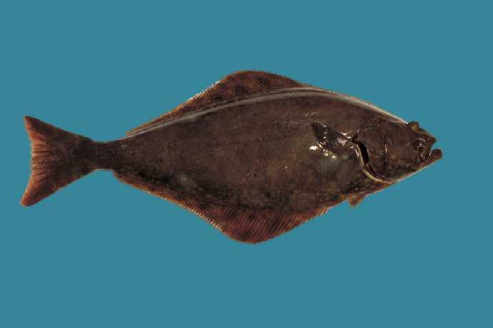 Hippoglossus hippoglossus