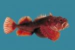 Hemitripterus americanus