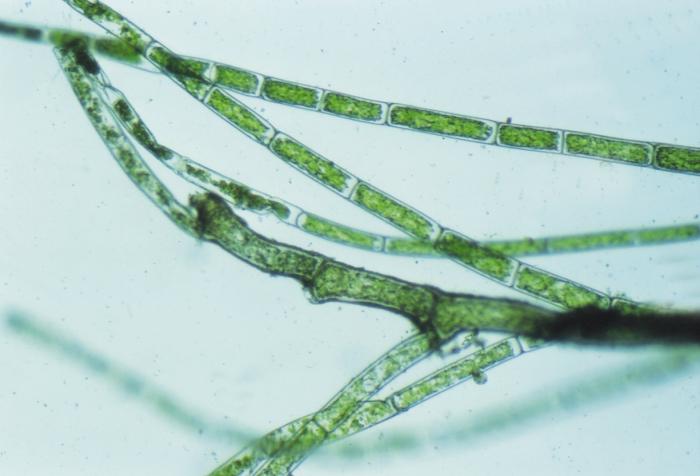 Cladophora