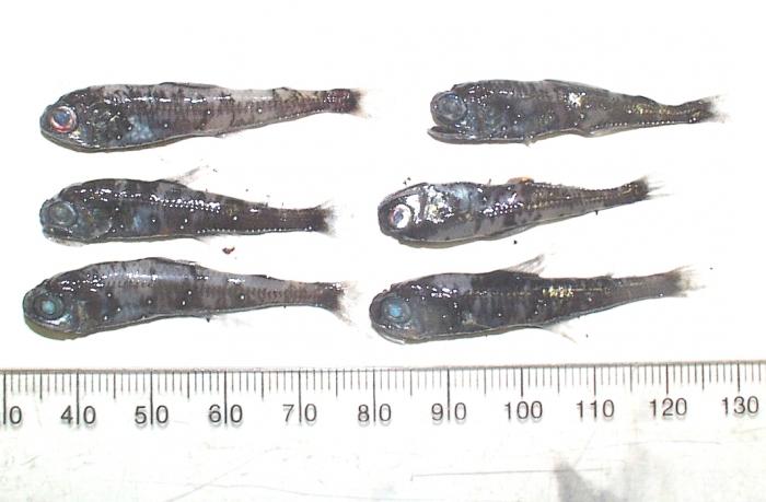 Myctophidae