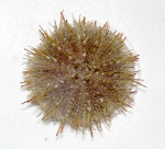 Strongylocentrotus droebachiensis