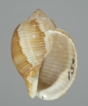 Holotype (apertural)