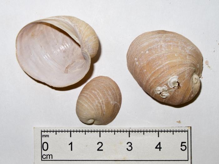Velutina undata - 3 shells