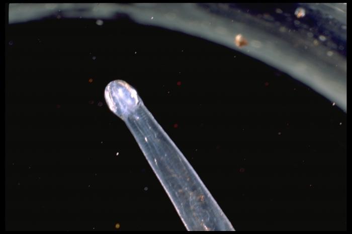 Parasagitta elegans