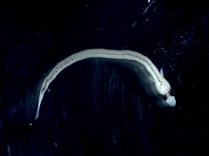 Ammodytes - larva