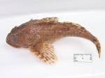 Myoxocephalus scorpius - collection