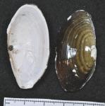 Yoldia hyperborea