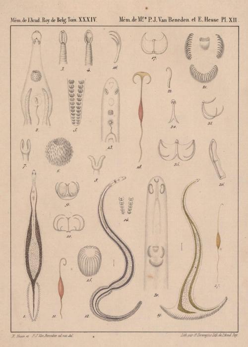 Van Beneden & Hesse (1864, pl. 12)