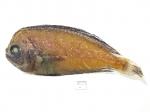 Caristius groenlandicus - Greenland manefish