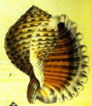 fig. 2 from G. B. Sowerby I, 1827