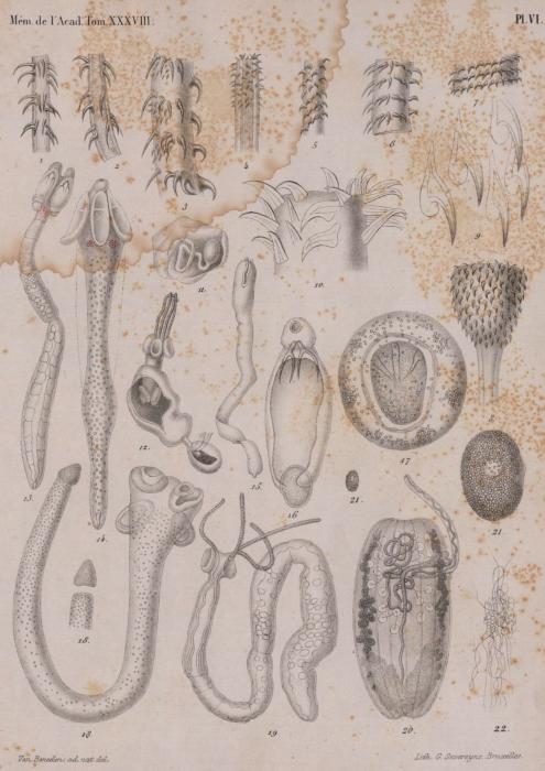 Van Beneden (1871, pl. 6)