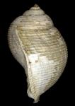 Holotype NMNH-SI 51385
