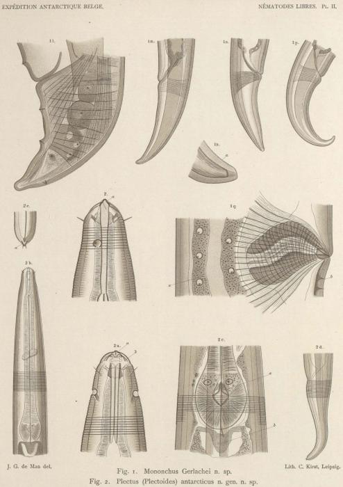 De Man (1904, pl. 02)