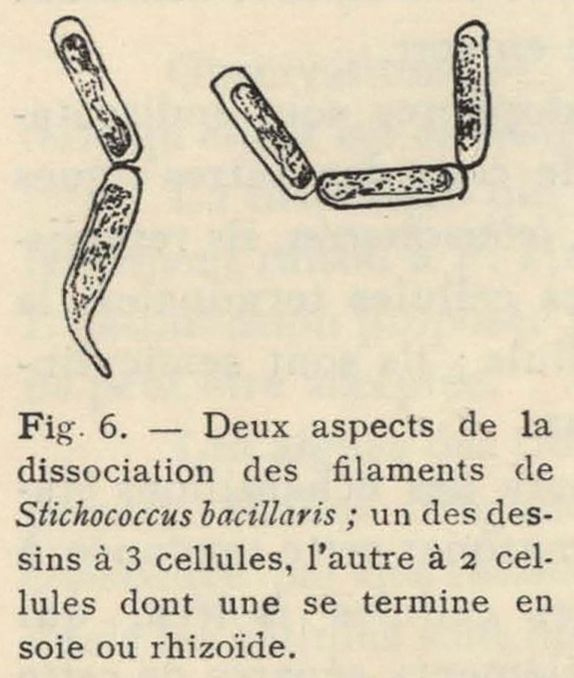 De Wildeman (1935, fig. 06)
