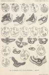 Van Beneden, de Selys Longchamps (1940, pl. 09)