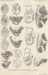 Van Beneden, de Selys Longchamps (1940, pl. 10)