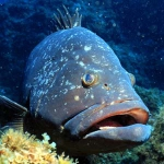 Dusky grouper in Corvo Island voluntary marine protected area.