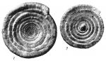 Ammodiscus flavidus