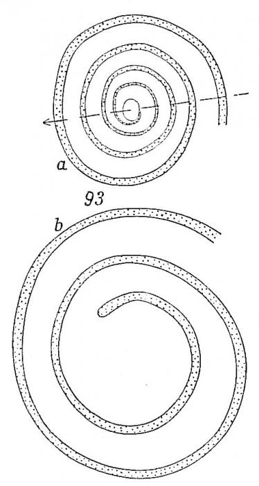 Ammodiscus intermedius