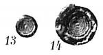 Ammodiscus planorbis