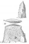 Ammoscalaria tenuimargo