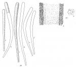 Bathysiphon flexilis