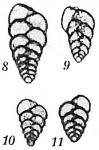 Bolivina pseudoplicata