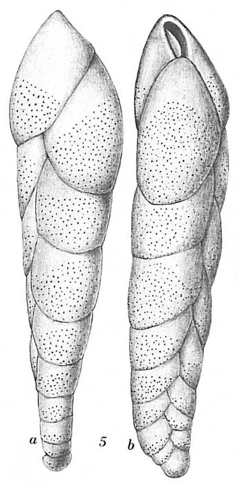 Bolivina pseudopunctata