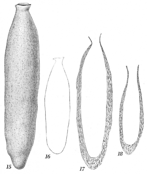 Hippocrepina cylindrica